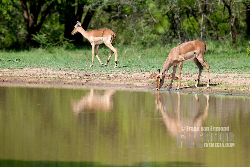 Impala (Aepyceros Melampus)..Drinking at a waterhole...Hluhluwe Imfolozi Game Reserve..Kwazulu-Natal, South Africa..November 2010.
