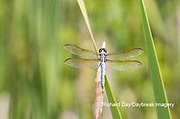 06618-00212 Yellow-sided Skimmer (Libellula flavida) male Montgomery Fen Ripley Co. MO