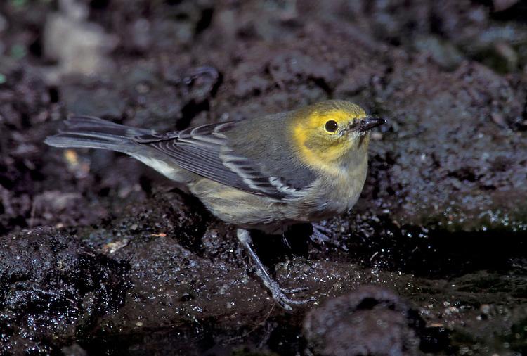 Hermit Warbler - Dendroica occidentalis - immature