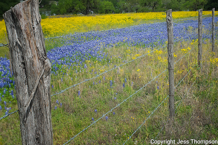 Wildflowers in Texas, Park Road 4, Burnet