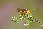Baltimore Oriole (Icterus galbula) female perched amid apple blossom in spring, Freeville, New York, USA.