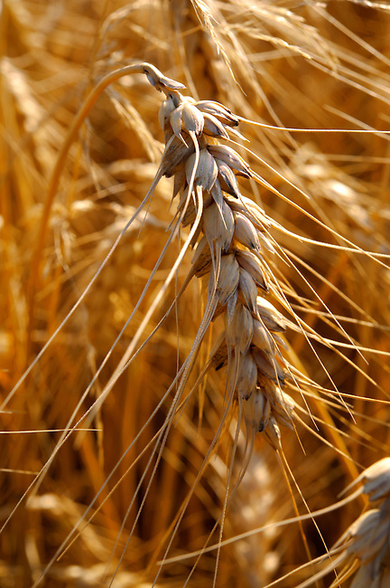 Ripe wheat (corn) in a filed ready to harvest