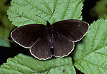 Ringlet Butterfly (Aphantopus hyperantus) brown, resting on leaf with wings open