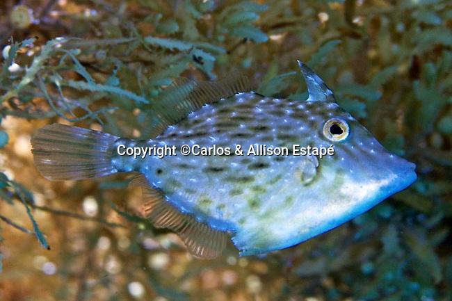 Stephanolepis setifer, Pygmy filefish, Florida Keys