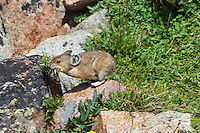 American pika (Ochotona princeps) running back to one of its haypiles (winter food caches) with a mouthful of plant food.  Beartooth Mountains, Wyoming/Montana.  Summer.  This photo was taken in alpine setting at around 11,000 feet (3350 meters) elevation.