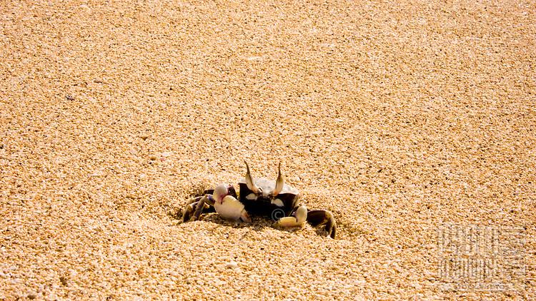 Sand crab on white sand beach