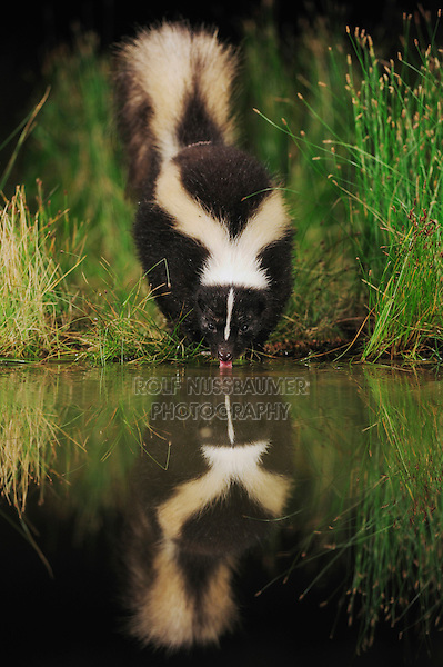 Striped Skunk (Mephitis mephitis), adult at night drinking from wetland lake, Fennessey Ranch, Refugio, Coastal Bend, Texas, USA