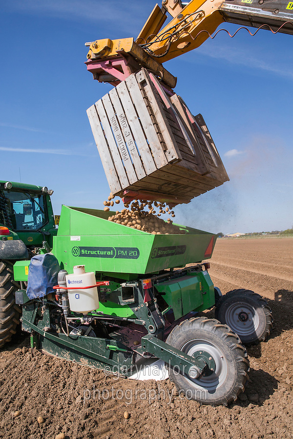 Loading Sapphire seed potatoes into a two row Miedema Structural PM20 planter - Licolnshire, April