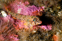 Longfin sculpin, Jordania zonope, Barkley Sound, British Columbia, Pacific Ocean