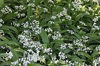 Bärlauch, Bär-Lauch, Bestand, Bärlauchbestand, Allium ursinum, Ramsons, Wood Garlic, Wood-Garlic, L'ail des ours, ail sauvage