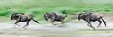 Running white-bearded wildebeest (Connochaetes taurinus albojubatus) crossing the shore of Lake Ndutu on migration. Ngorongoro Conservation Area / Serengeti National Park, Tanzania, East Africa (digitally stitched image)