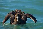 Antarctic Giant Petrel (Macronectes giganteus) spreading wings on water, Kaikoura, South Island, New Zealand