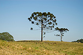 Fazenda Bauplatz, Brazil. Araucaria trees with sheep grazing.