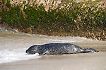 Children's Pool, La Jolla, California; a newborn Harbor Seal (Phoca vitulina) pup heads back into the water for another swimming lesson