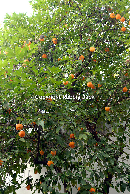 Oranges on a tree in Seville,Spain