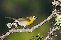 Yellow-breasted Chat (Icteria virens), adult perched, Sinton, Corpus Christi, Coastal Bend, Texas, USA