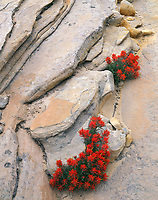 Zion National Park, UT:  Slickrock Paintbrush (Castilleja scabrida) growing in the crevices of Navajo Sandstone in Clear Creek Canyon