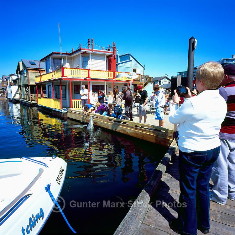 Victoria, BC, Vancouver Island, British Columbia, Canada - Floating Houses and Tourists feeding Harbor Seals in Float Home Village, at Fisherman's Wharf in Victoria Harbour