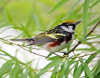 Male chestnut-sided warbler in spring migration on April 23, 2015
