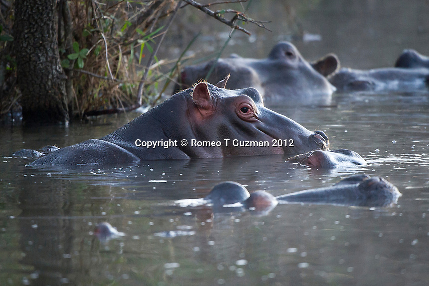 July 21, 2012: Morning Drive Skukuza in Kruger National Park in South Africa