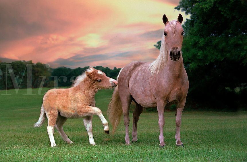 Miniature Horse mare and foal.