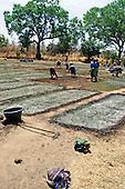Tankular, Gambia, Africa. Women working on a field; crops after watering.