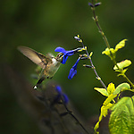 Ruby Throated Hummingbird Female Feeding at blue flowers