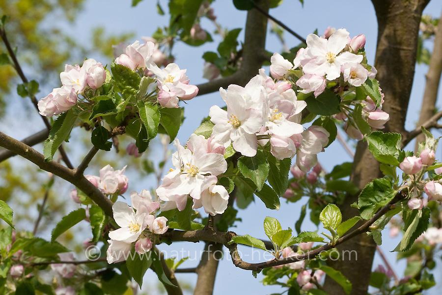 Kultur-Apfel, Apfelbaum, Apfel - Baum, Malus domestica, Apple, Pommier commun