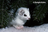 MA28-125z  Short-Tailed Weasel - ermine exploring forest for prey in winter - Mustela erminea