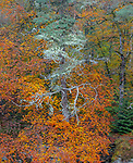 Western Highlands, Scotland:<br /> Fall colors of the beech forested canyons above the river Moriston, Invermoriston