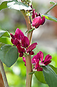 Crimson-flowered broad bean, early March.