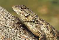 Western fence lizard, Sceloporus occidentalis, with western black-legged tick, Ixodes pacificus, carrier of Lyme disease in California.  Researchers at UC Berkeley have found that fence lizards' blood contains a substance that kills the Lyme disease bacterium, Borrelia burgdorferi, when a lizard is bitten by a tick.  This may explain the relatively low incidence of Lyme disease in California.