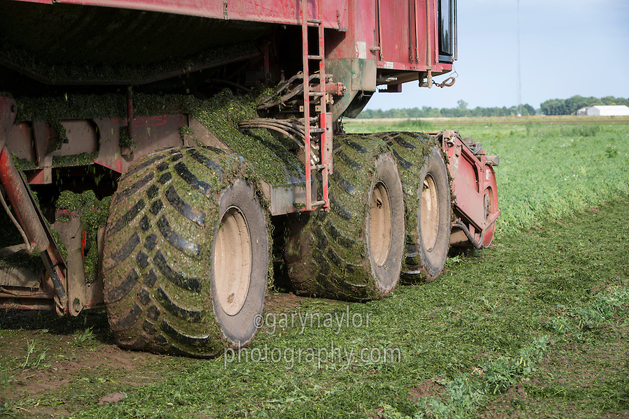 Pea vining with PMC harvester fitted with large floatation wheels - Lincolnshire, August