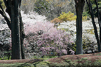 A profusiuon of cherry blossoms in full bloom between the tree trunks at Higashi-Gyoen, the East Gardens of the Imperial Palace in Tokyo