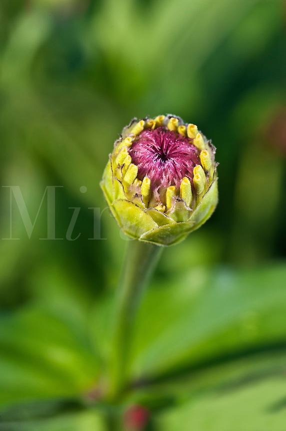 Zinnia bud close-up, Asteraceae