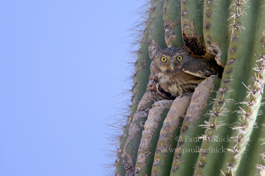 A Cactus Ferruginous Pygmy-Owl, Glaucidium brasilianum, prepares to leave his Gila Woodpecker-created nest cavity in a saguaro cactus.