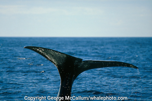Sperm whale Physeter macrocephalus raising tail to dive after squid.