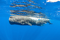 sperm whales mother and calf, Physeter macrocephalus, Dominica, Caribbean Sea, Atlantic Ocean, photo taken under permit n°RP 16-02/32 FIS-5