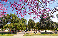 Bright pink flowering trees called western redbuds (Cercis occidentalis) line the entrance to Swan Hall on March 26, 2019.<br /> (Photo by Marc Campos, Occidental College Photographer)