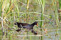 00858-00402 Common Moorhen (Gallinula chloropus) in wetland Starr Co., TX
