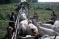 Borana Cow Dipping