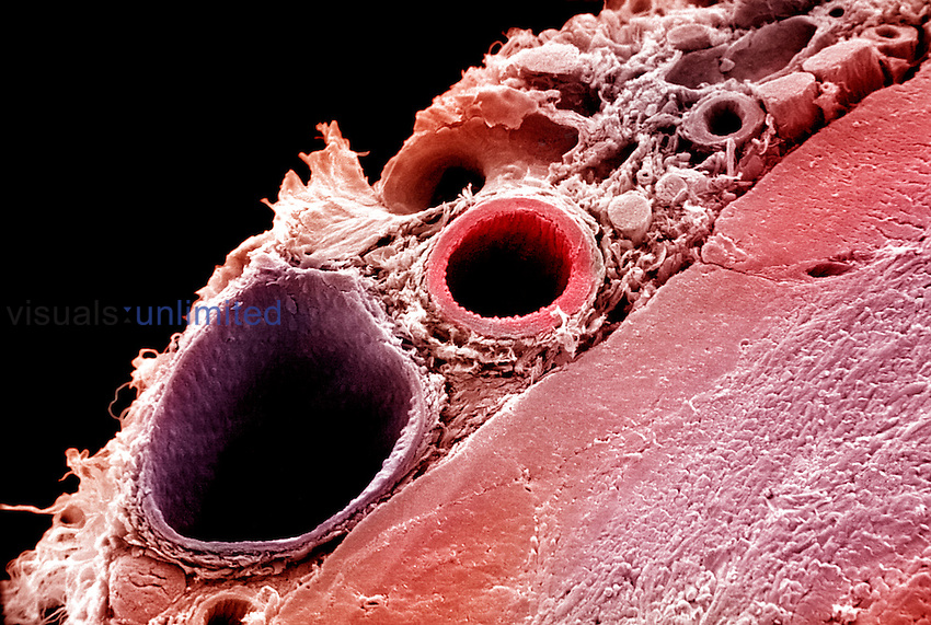 "A distributing artery,right, and a medium-sized vein,left, surrounded by connective tissue. SEM X305 (based on 4""x6"") **On Page Credit Required**"