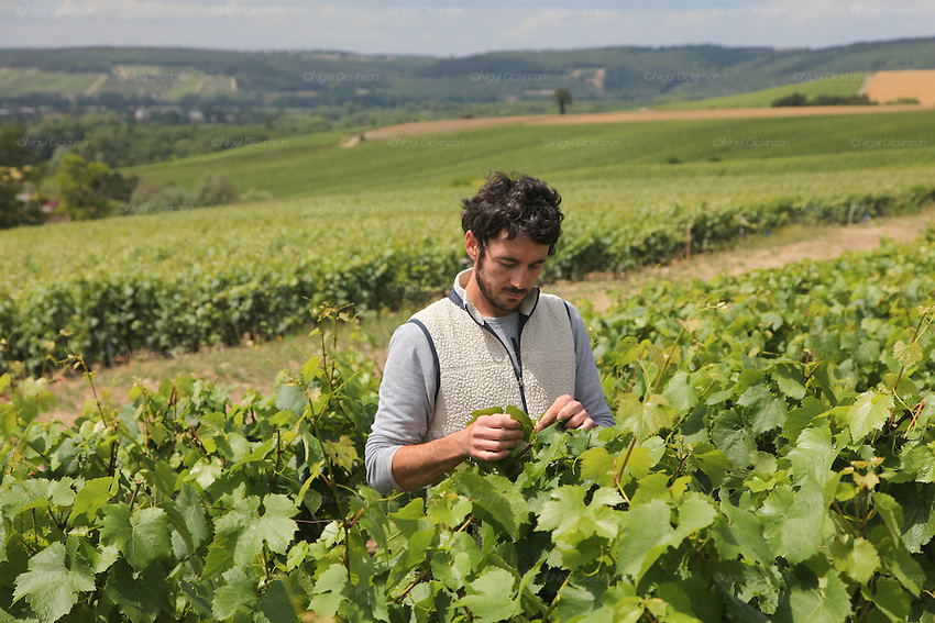 Cedric Bouchard, vigneron, cutting back and tying up his vines, just after they flowered. Domain  'Roses de Jeanne', Celles-Sur-Ource, Champagne, France..A new generation of vignerons around Troyes, city of the Aube, the forgotten region of Champagne, France. These new, but not necessarily young, producers, make Champagnes that are in many ways anti-Champagnes. Where Champagne for a century has made a myth of the art of blending, in which the usual distinctions of terroir, grape and vintage disappear into the house blend, these producers take a Burgundian approach to making Champagne, emphasizing all these qualities that are taken for granted as important in other regions but are largely ignored in Champagne. In a sense they each are a microcosm for larger changes taking place throughout the Champagne region, not just in the Cote des Bars, and for changing perceptions of Champagne on the part of American consumers