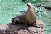 0406-1023  California Sea Lion Sun Bathing on Rock, Zalophus californianus  © David Kuhn/Dwight Kuhn Photography.