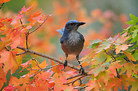 Western Scrub-Jay (Aphelocoma californica),  adult on autumn leaves of Bigtooth Maple (Acer grandidentatum), Hill Country, Central Texas, USA