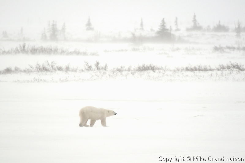 Polar bear (Ursus maritimus) walking on on frozen tundra in blizzard<br /> Churchill<br /> Manitoba<br /> Canada