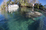 Manatee Surfaces At Three Sisters Spring