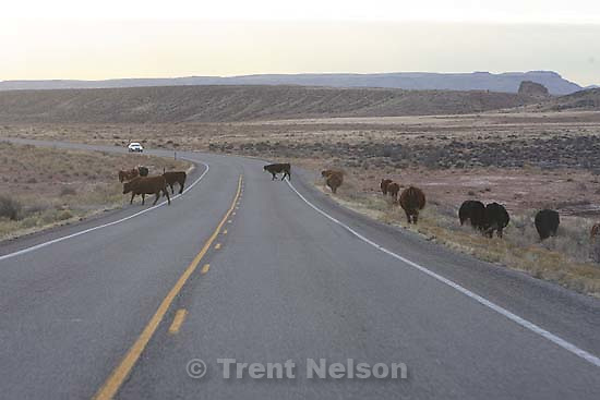 around, travel to Monticello game. Whitehorse high school girls basketball. 1.31.2006 cows in road<br />