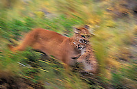 COUGAR/MOUNTAIN LION/PUMA..Mom carrying five week old cub to safety..Rocky Mountains. (Felis concolor).Digital Alteration.