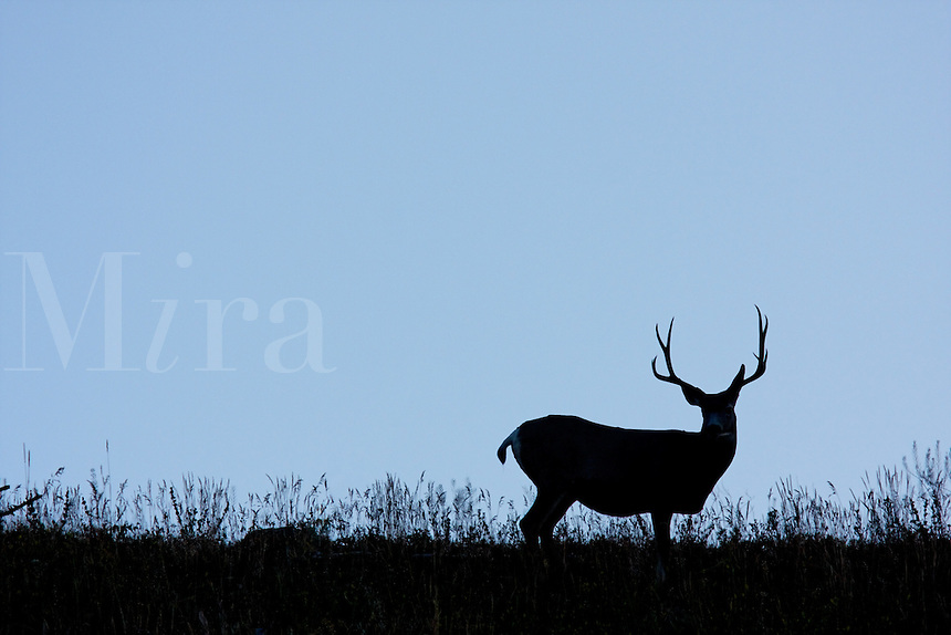 Male mule-deer and meadow silhouetted against twilight sky at dawn, Yellowstone National Park, Wyoming, USA